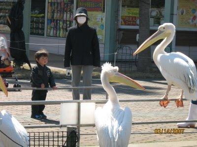 03.14.07-pelican[1]-758103